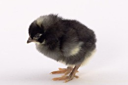 Barred Rock Chick